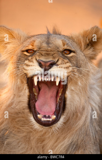 Young male lion at a water hole, Namibia - Stock Image
