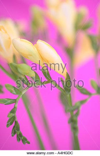 Yellow freesia flowers - Stock Image