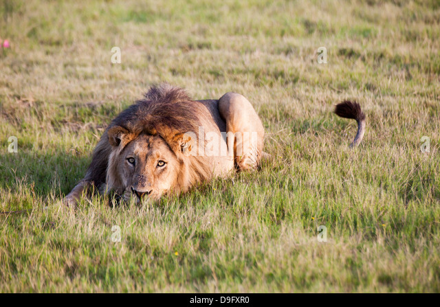 Lion, South Africa, Africa - Stock Image