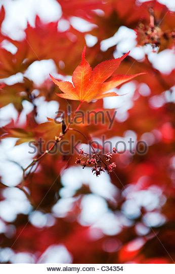 Acer Palmatum, Atropurpureum. Japanese maple leaves and flowers - Stock Image