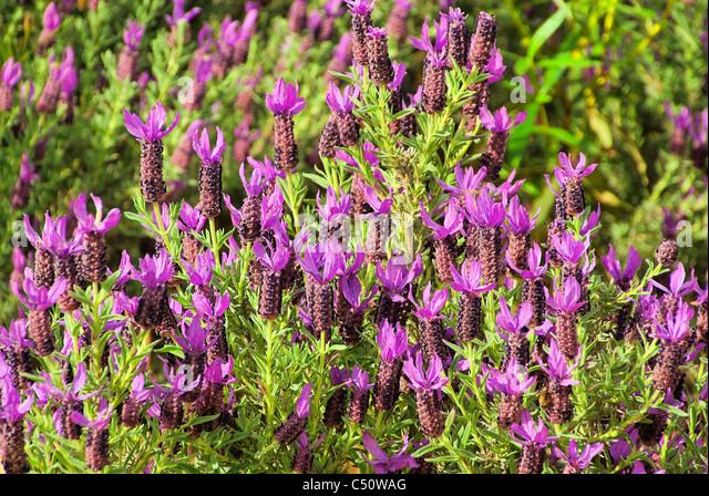 french lavender lavandula stoechas blooming stock photos. Black Bedroom Furniture Sets. Home Design Ideas
