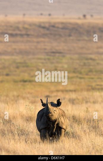 Black rhino (Diceros bicornis), Lewa Wildlife Conservancy, Laikipia, Kenya, East Africa, Africa - Stock Image