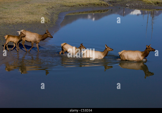 Elk cows and calves cross a pond at Alaska Wildlife Conservation Center near Portage, Southcentral Alaska, Autumm. - Stock Image