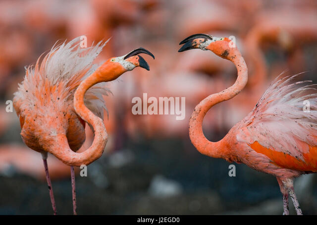 Game two adults of the Caribbean flamingo. Cuba. Reserve Rio Maximа. An excellent illustration. - Stock Image