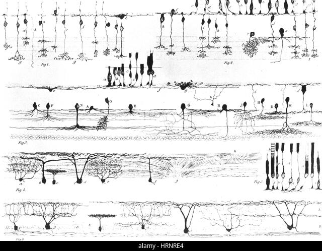 Nerve Structure of the Retina Illustrated by Cajal, 1923 - Stock Image