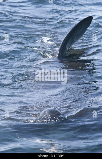 Dorsal fins at the surface, telltale signs of the giant basking shark (Cetorhinus maximus), Coll, Inner Hebrides, - Stock Image