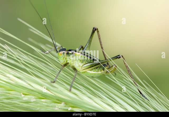 Bush-cricket Lesvos Island Greece - Stock Image