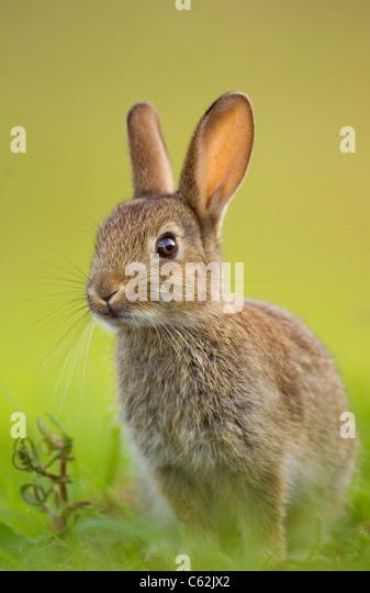 RABBIT Oryctolagus cuniculus  In the last rays of evening light a young rabbit sits alert near its warren  Norfolk, - Stock-Bilder