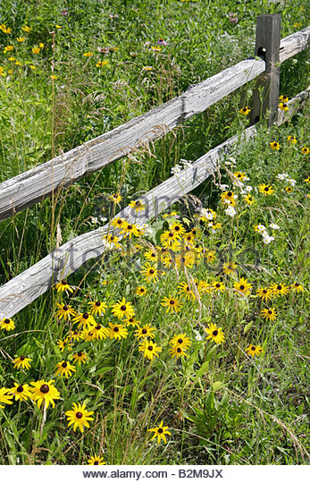 Wisconsin Kenosha Kansasville Richard Bong State Recreation Area prairie flowers yellow park vegetation wood fence - Stock Image