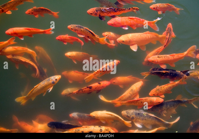 Koi stock photos koi stock images alamy for Koi fish pool table