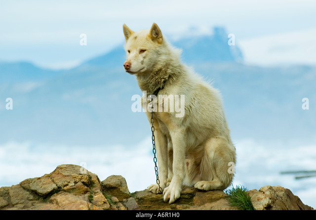 Greenland Dog or Husky, at the Inuit village of Tiniteqilâq, Sermilik Fjord, East Greenland - Stock Image