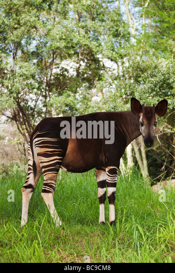 Okapi Herbivorious mammal with unusual markings The Flagship species of the Ituri Rainforest Democratic Republic - Stock Image