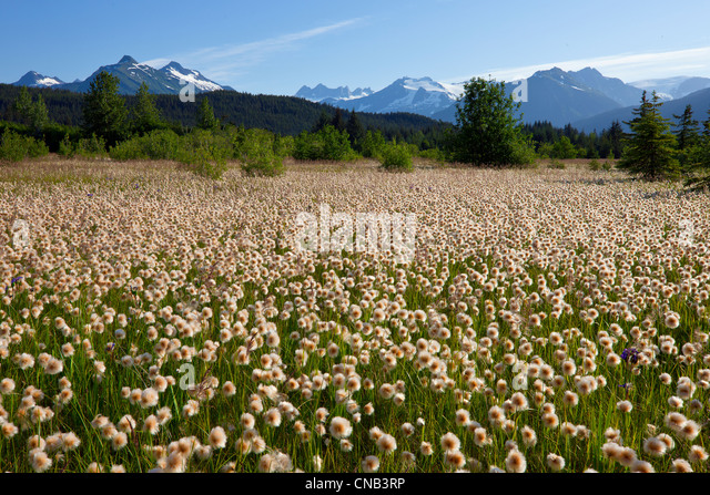 Alaska Cotton grass in the Mendenhall wetlands, Juneau, Southeast Alaska, Summer - Stock Image