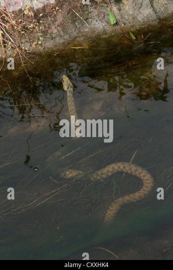 Dice snake (Natrix tessellata) in the water, Lake Balaton, Hungary, Europe - Stock Image