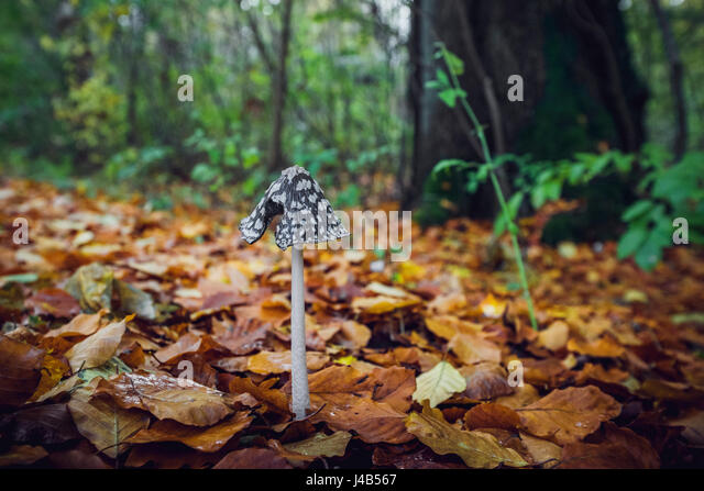 Coprinopsis picacea mushroom with a tall stalk and a black hat with white spots in a forest in the fall with golden - Stock Image