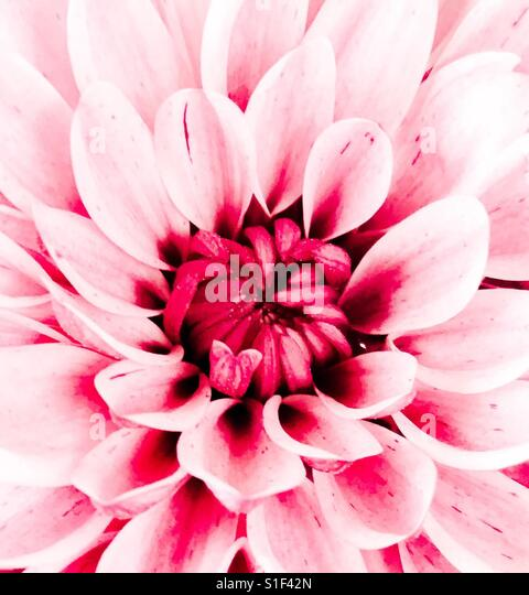 Pink flower close up - Stock Image