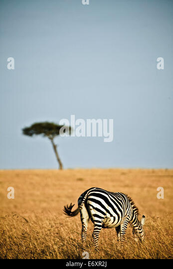 A lonely zebra in the savanne of the Masai Mara, Kenya, Africa - Stock Image