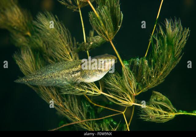 ... (Ceratophyllum submersum) underwater, Danube Delta, - Stock Image