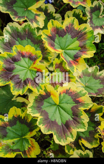 Variegated Leaf Geranium Stock Photos Amp Variegated Leaf