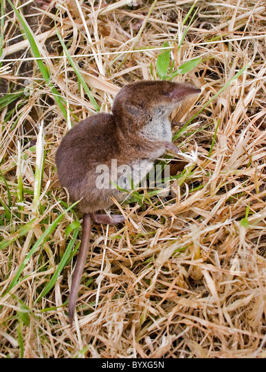 Common or eurasian shrew sorex araneus Devon UK - Stock Image