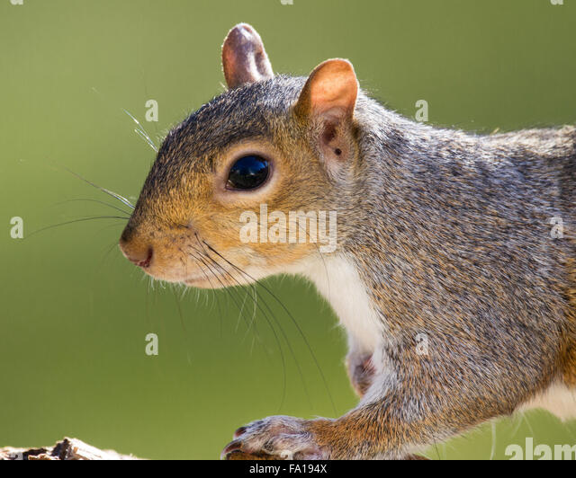A portrait of a grey squirrel - Stock Image