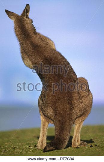 Eastern gray kangaroo grooming Macropus giganteus Murramarang National Park Australia Murramarang National Park - Stock Image