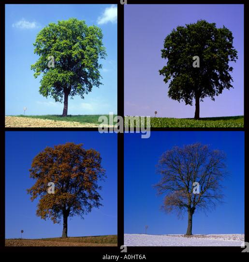 composing seasonal oak tree 4 seasons images. Photo by Willy Matheisl - Stock Image