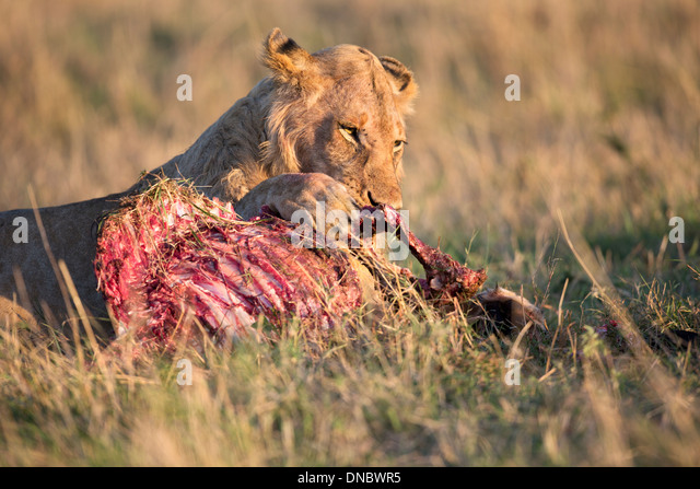 Young male lion on kill in Mara Reserve of Kenya - Stock Image
