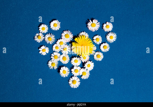 Heart drawn with daisies and dandelion flower on a blue background - Stock Image