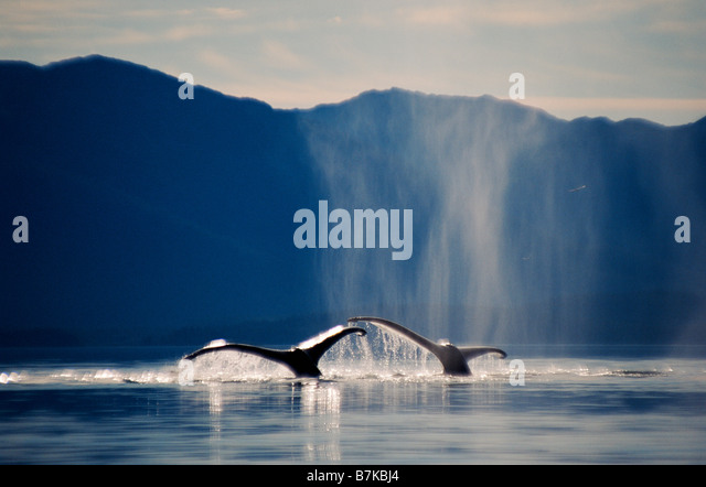 Pair of humpback whales sounding, Icy Strait, Southeast Alaska - Stock Image