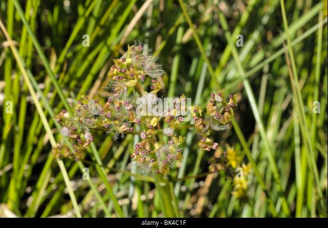 Marsh Valerian - Stock Image