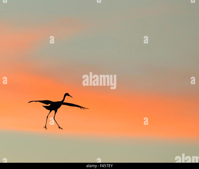 Sandhill crane (Grus canadensis) landing at sunset. North America.  Highly honoured in the Art in Nature category - Stock Image
