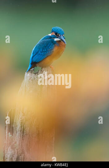 Eurasian Kingfisher - Stock Image