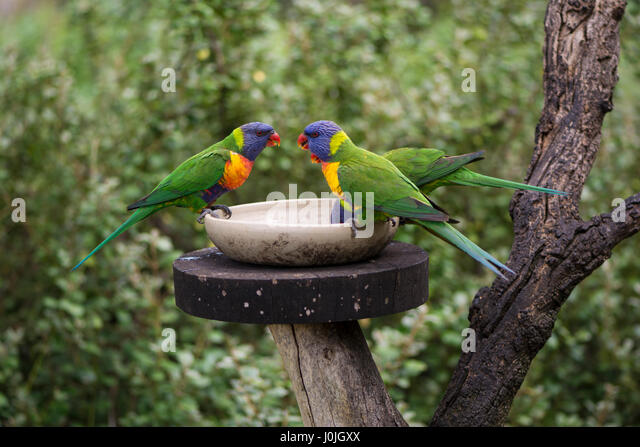 Three wild rainbow lorikeets (Trichoglossus moluccanus) at a feeder. A native Australian parrot, taken in South - Stock-Bilder