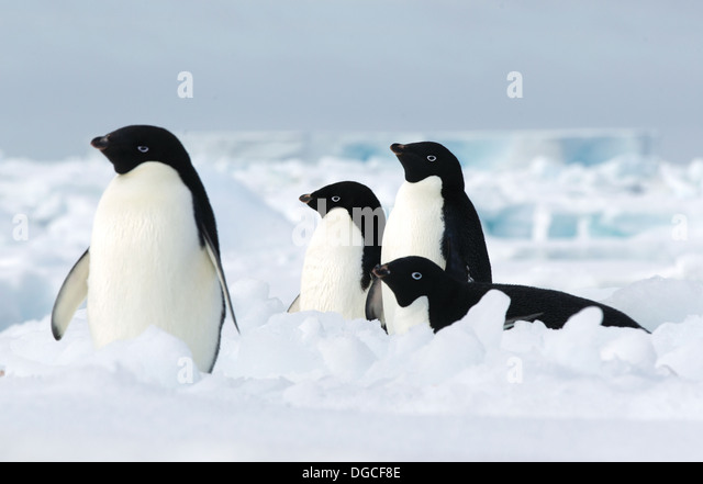 Adelie penguins on the ice floe in the southern ocean, 180 miles north of East Antarctica, Antarctica - Stock Image