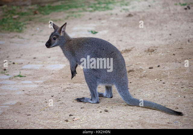Red-necked wallaby (Macropus rufogriseus, Bennett's wallaby) in Barcelona Zoo, Spain - Stock Image
