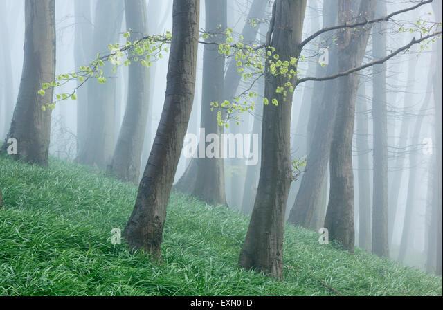 Beech woodland on a misty spring morning. Somerset. UK. Bluebell foliage on woodland floor. - Stock Image