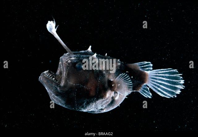 Anglerfish stock photos anglerfish stock images alamy for What is an angler fish