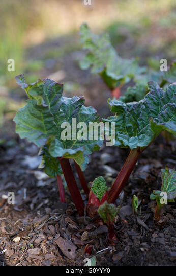 Rhubarb plant that just came up. - Stock Image