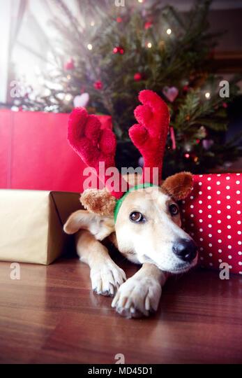 Dog wearing Christmas reindeer antlers - Stock Image