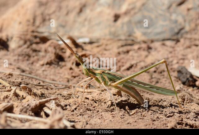 Grasshopper Eggs Stock...