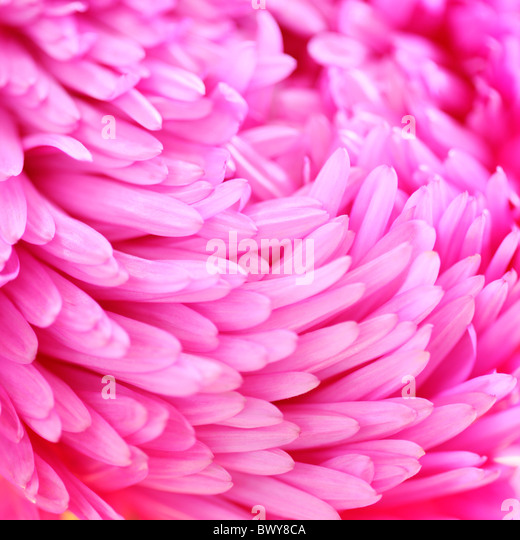 beautifully bright pink aster petals Jane-Ann Butler Photography JABP870 - Stock Image