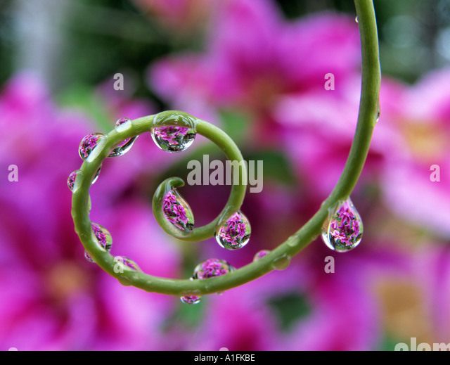 Clematis seen through beads of water on tendril of passion flower plant Oregon - Stock Image