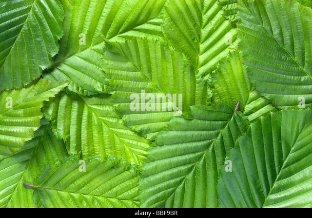 Leaf pattern. Hornbeam leaves, Carpinus betulus. - Stock Image
