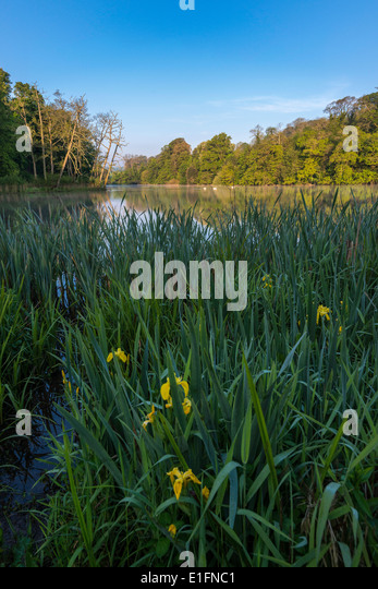 Grounds of country house hotel near village of Brixton in Devon, England UK. Lake with reeds and yellow irises in - Stock Image