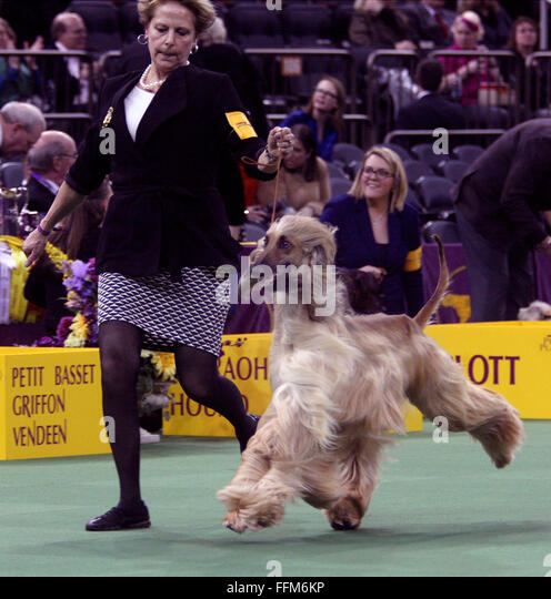 New York, USA. 15th February, 2016. GCH Pahlavi Itz Not My First Rodeo, an Afghan Hound during the Hound group competition - Stock Image
