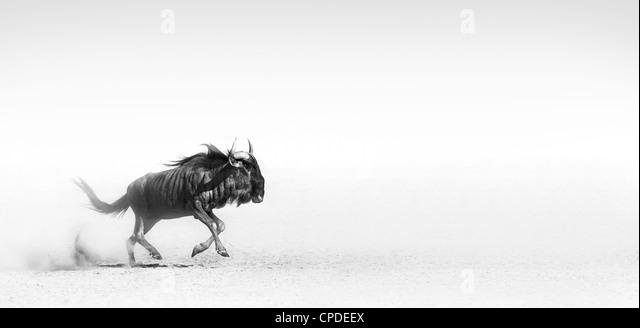 Blue wildebeest in the desert (Artistic processing) - Stock Image