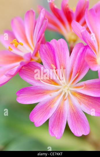 Vivid pink flowers of Lewisia cotyledon 'Regenbogen'. - Stock Image