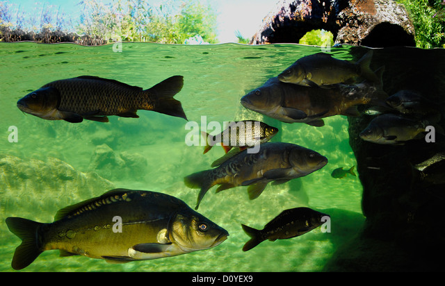 Carp underwater stock photos carp underwater stock for Golden ornamental pond fish crossword