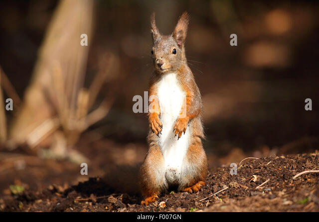 European red squirrel, Eurasian red squirrel (Sciurus vulgaris), sitting up on the hind legs on the ground, Germany - Stock Image